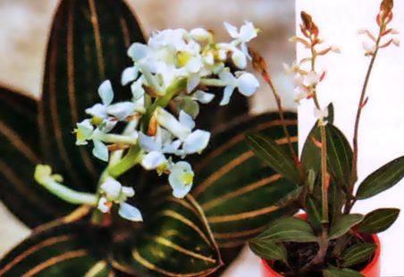 Драгоценная орхидея лудизия и другие блистательные крохи