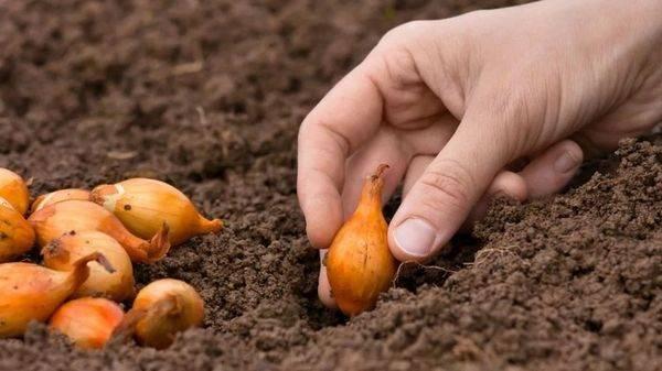 Выращивание лука в московской области - посадка и уход | сайт о саде, даче и комнатных растениях.