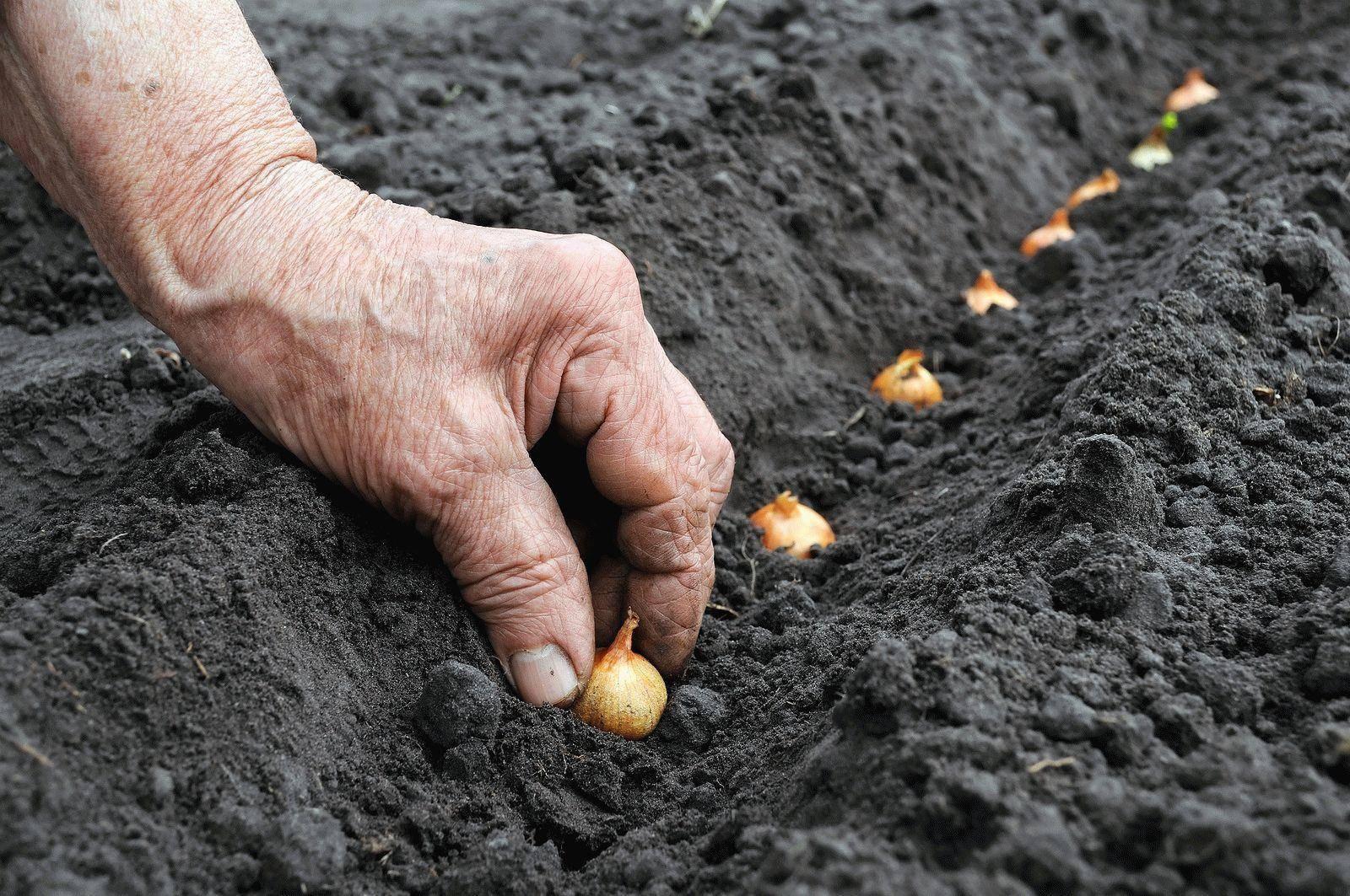 Посадка лука севка весной в открытый грунт: сроки, подготовка, агротехника |