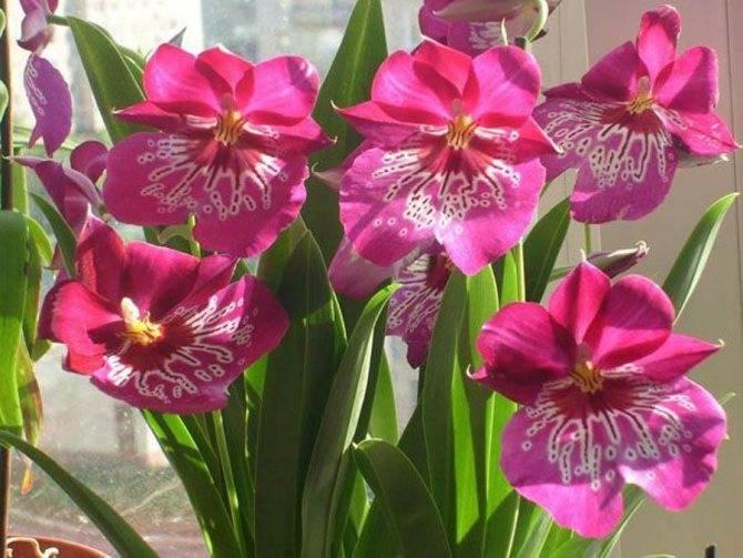 Орхидея мильтония — уход в домашних условиях