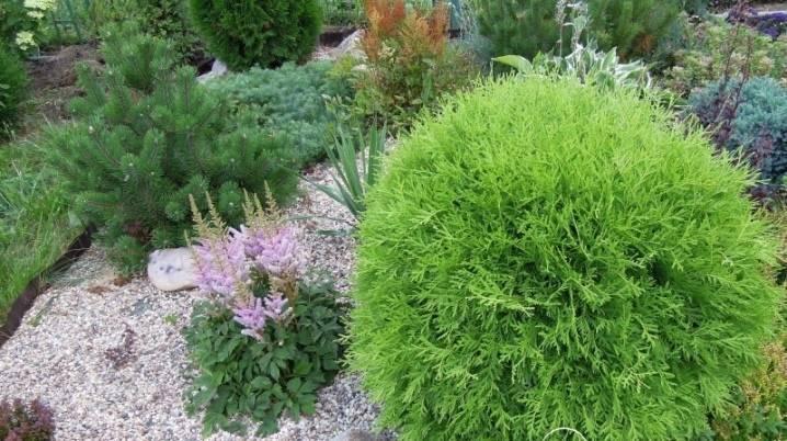 Карликовые туи (19 фото): обзор сортов низкорослых растений. как маленькие туи смотрятся в ландшафтном дизайне?