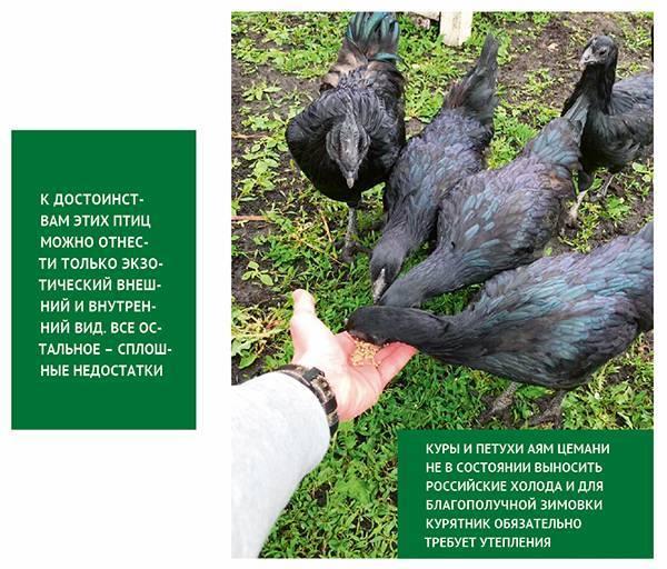 Черная курица – аям цемани
