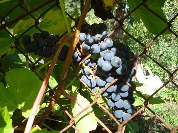 Виноград велес: описание сорта, фото, отзывы садоводов, видео