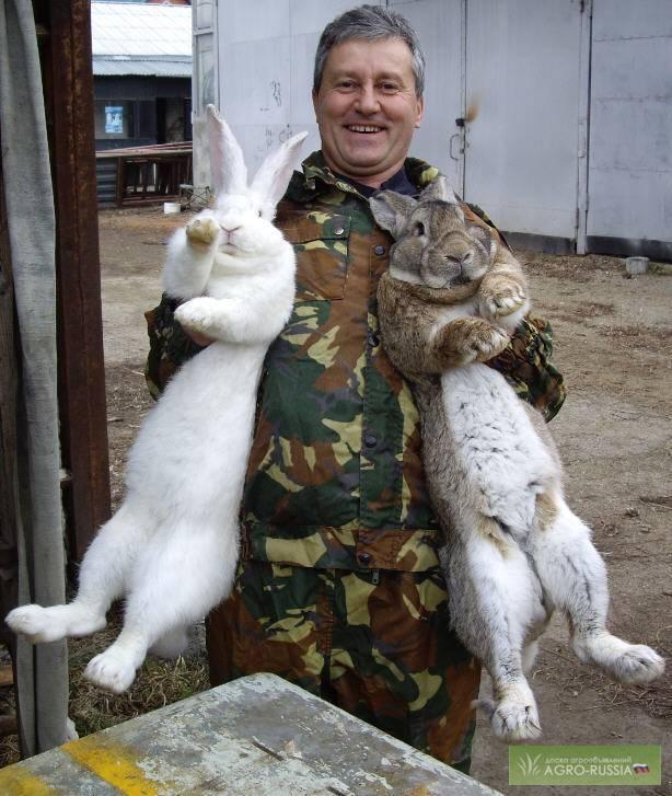 Кролики породы баран - описание, разведение, фото и видео   россельхоз.рф