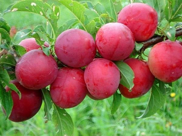 Скороплодная слива, описание сорта, посадка и уход за скороплодной сливой - деревья и кустарники | описание, советы, отзывы, фото и видео