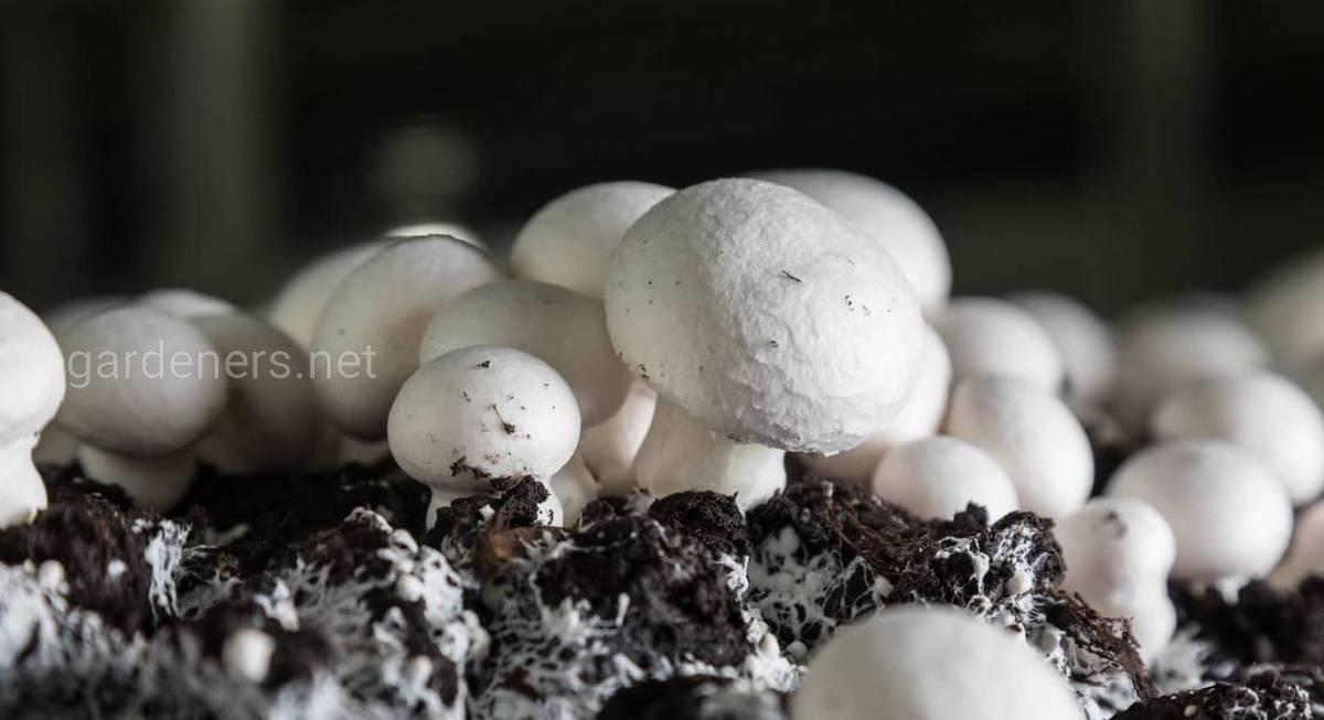 Пошаговая инструкция по выращиванию белых грибов в домашних условиях на приусадебном участке и подоконнике