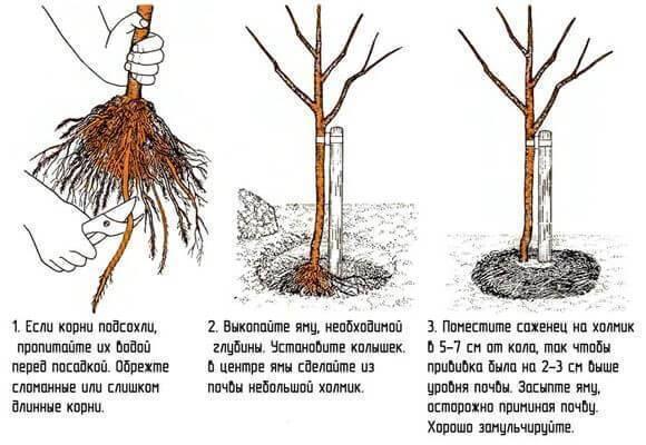 Как посадить яблоню правильно, фото и видео