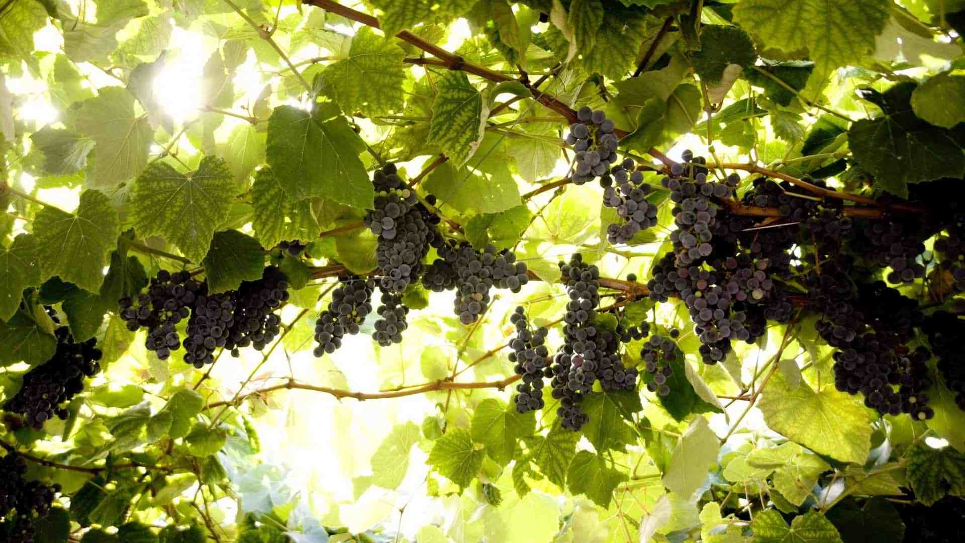 Обработка винограда железным купоросом: как делать весной и осенью, как правильно развести раствор
