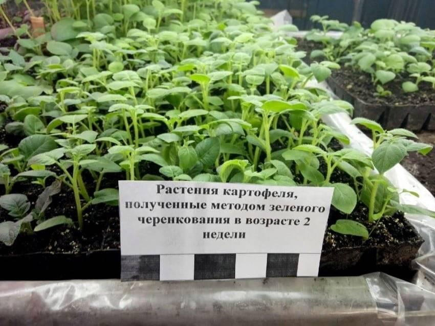 Способы выращивание картофеля