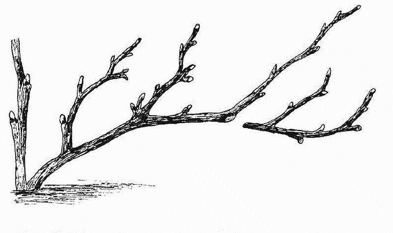 Как правильно обрезать смородину осенью и весной: схема для начинающих