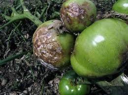 Медный купорос для помидоров, применение