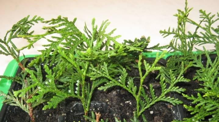 Размножение туи черенкованием | размножение растений