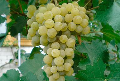 Сорт винограда магарач: описание, фото