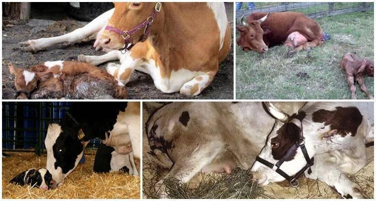 Корова не встаёт на ноги после отёла: почему и что делать