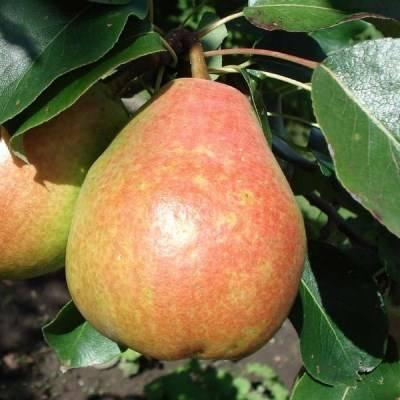 Осенняя груша сорта «киффер»