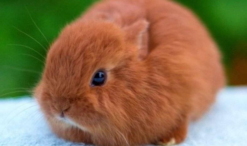 Кролики породы серебристый — фото и описание, характеристика, условия содержания, перспективы разведения. | cельхозпортал