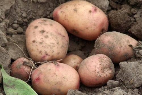 Характеристика картофеля сорта Сынок
