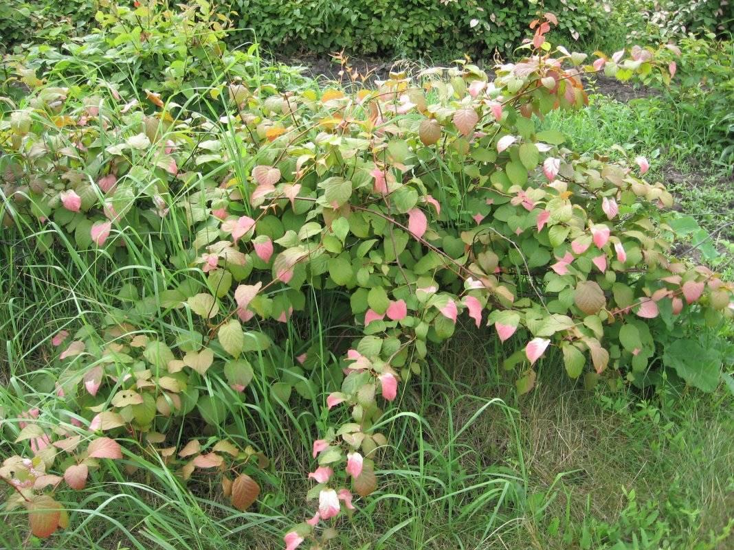 Выращивание актинидии в сибири, особенности посадки и ухода