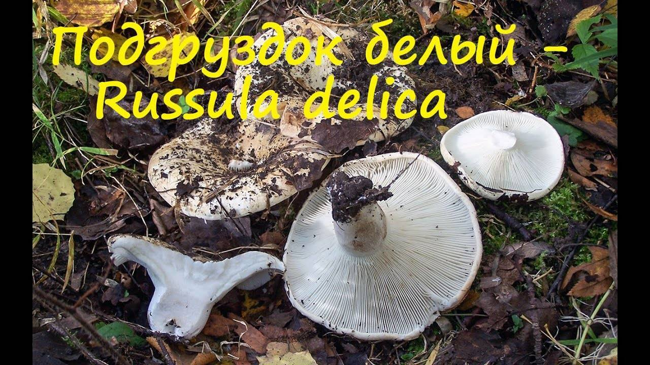 Подгруздок черный (russula adusta): фото, описание и готовить соленый гриб горячим способом