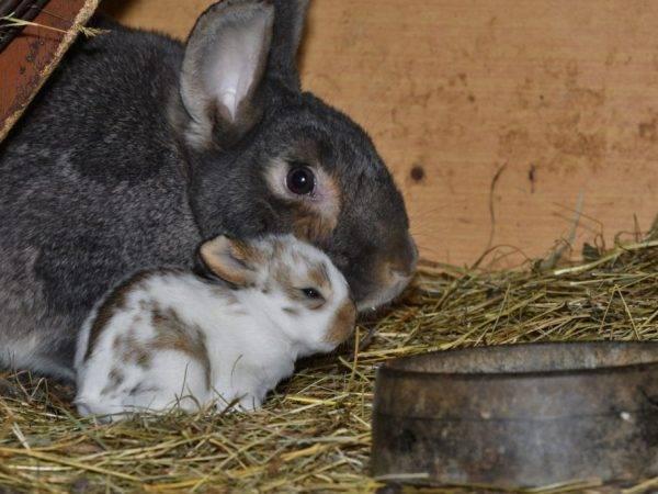Крольчиха сделала гнездо и не рожает причины что делать