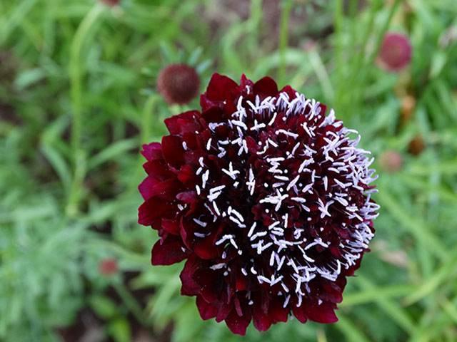 """Цветок """"скабиоза"""": фото, выращивание из семян, посадка и уход"""