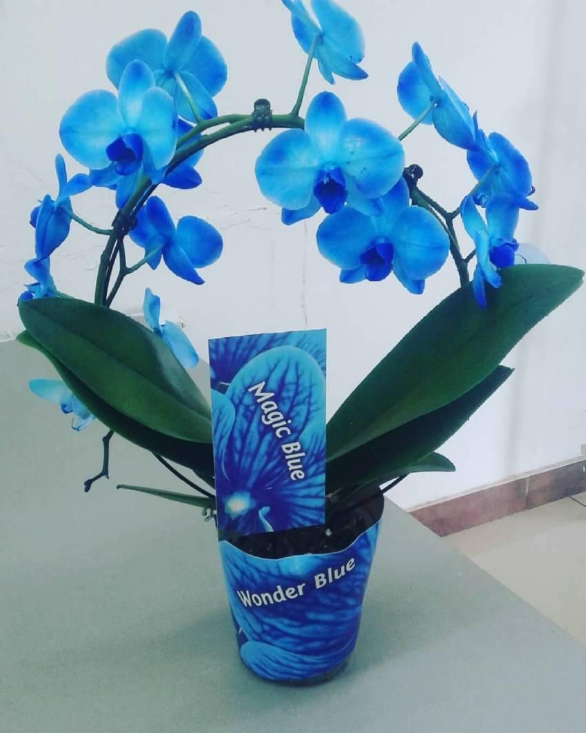 Синяя орхидея: бывает ли в природе, как узнать, натуральная или нет, чем покрасить в настоящий голубой цвет, а также уход в домашних условиях за крашеной и фото русский фермер