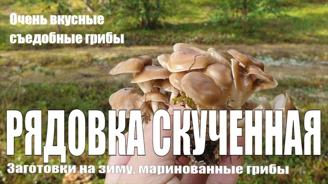 Рядовка скученная: описание гриба, распространение, фото