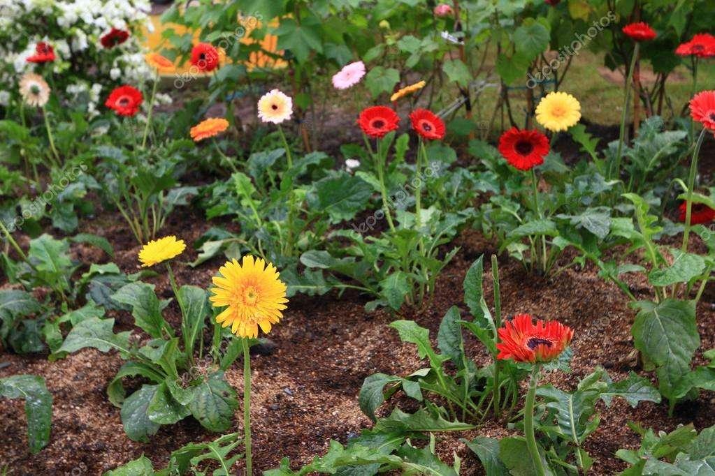 Гербера садовая: посадка и уход, фото, выращивание цветов в открытом грунте на даче, а также похожие многолетние зеленые красавцы на клумбах и рабатках участка русский фермер