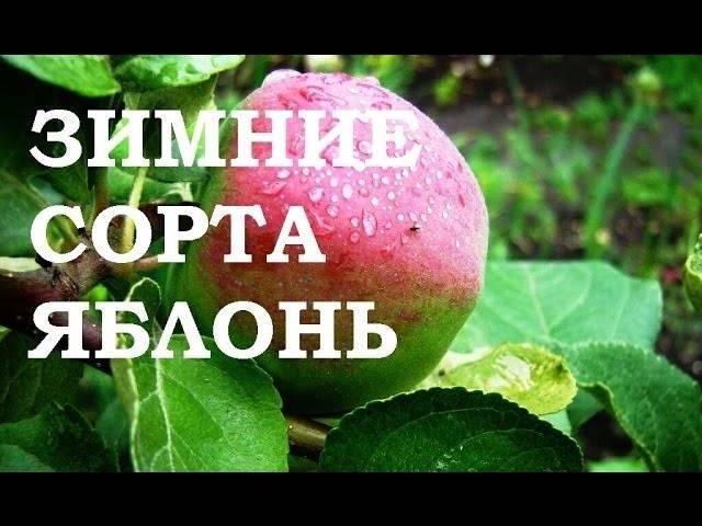 Красивая и полезная яблоня память сюбаровой