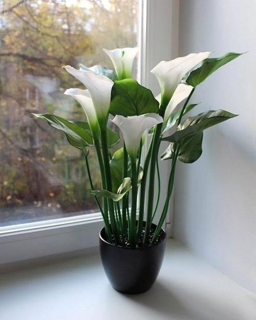 Почему не цветет калла? - комнатные растения. - страна мам