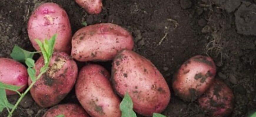 Картофель любава: описание сорта, характеристика, фото, отзывы