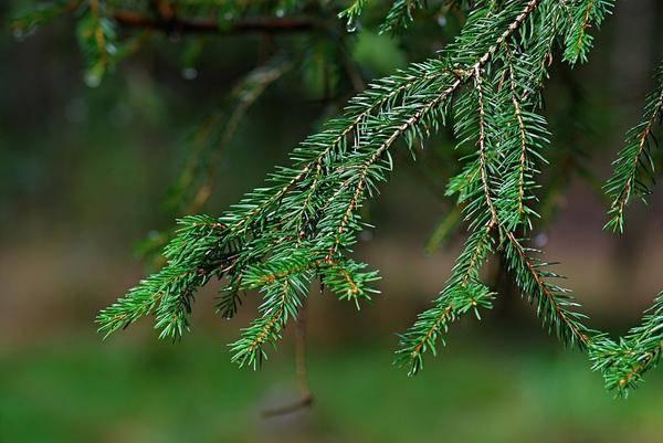 Голубая ель: описание и методы размножения, как вырастить из семян, обработка и закалка материала, выбор места для посадки, особенности культивирования