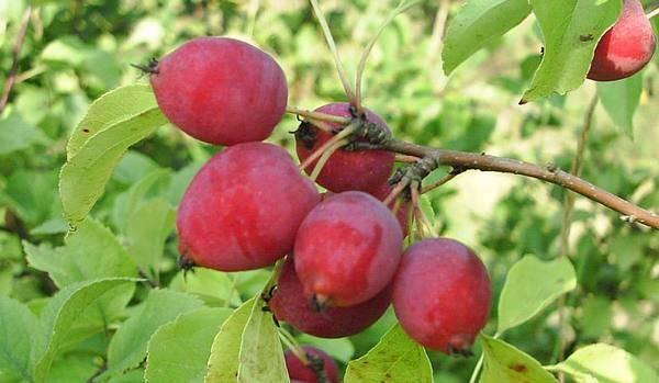 Сорт яблони китайка золотая ранняя, описание, характеристика и отзывы, а также особенности выращивания данного сорта