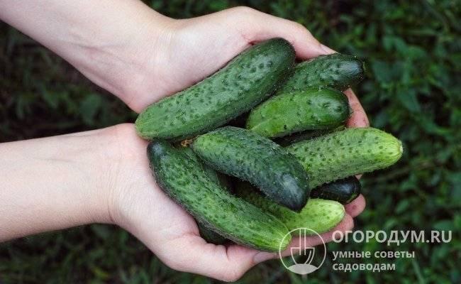 Огурец паратунка f1: описание, достоинства, технология выращивания, посев семян на рассаду, высадка в грунт, уход, отзывы