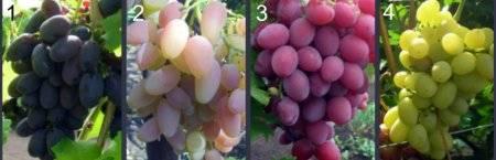 Выращивание винограда, современная технология выращивания винограда
