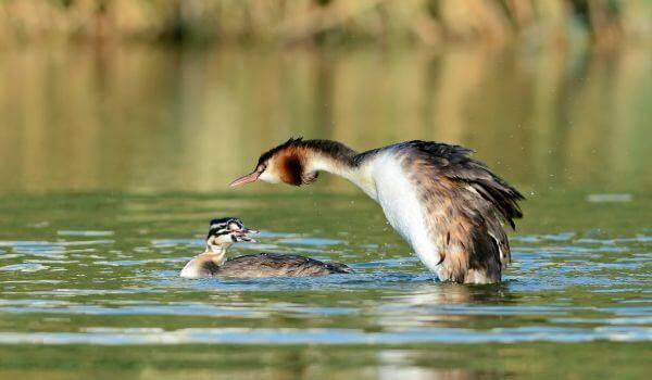 Чомга птица. образ жизни и среда обитания чомги