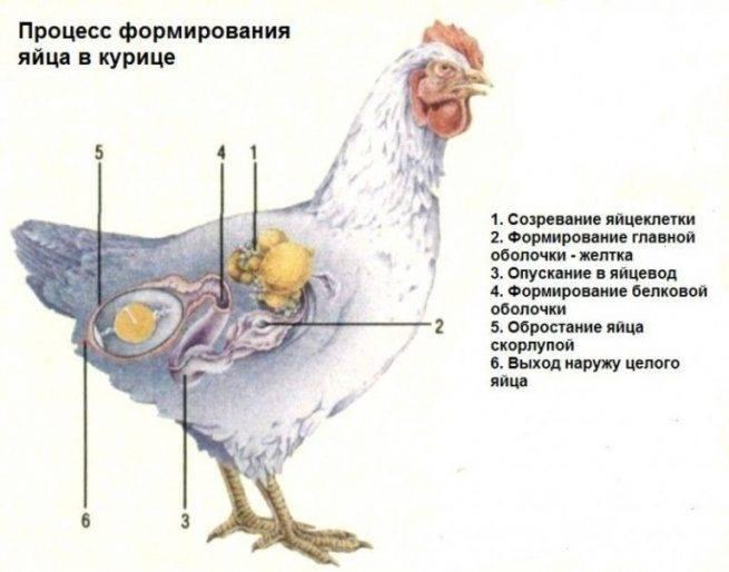 Сальпингит у птиц: причины возникновения воспаления яйцевода у несушек, как диагностировать и лечить заболевание selo.guru — интернет портал о сельском хозяйстве