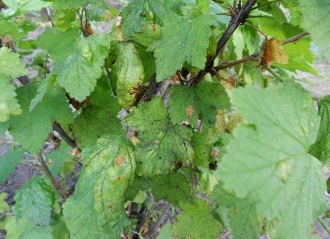 Скручиваются листья у смородины: чем обработать, фото и видео