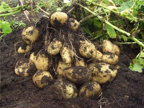 Урожайность картофеля – как ее повысить без особых затрат!