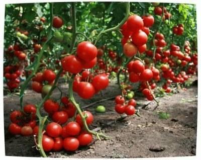 Как правильно поливать помидоры: в открытом грунте, теплице, после посадки, при созревании