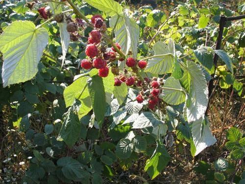 Сорт малины шапка мономаха: описание и отзывы
