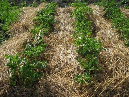 ✅ галина кизима: посадка картофеля, описание метода выращивания, советы - tehnomir32.ru