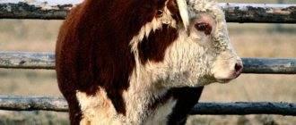 Мясо индоутки польза и вред: считается ли диетическим