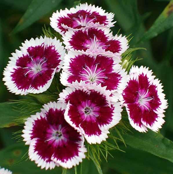 Советы опытных садоводов: выращивание турецкой гвоздики