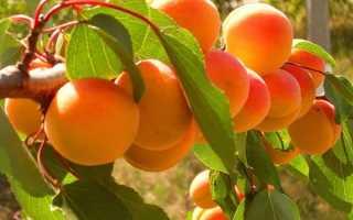 Характеристика абрикоса погремок