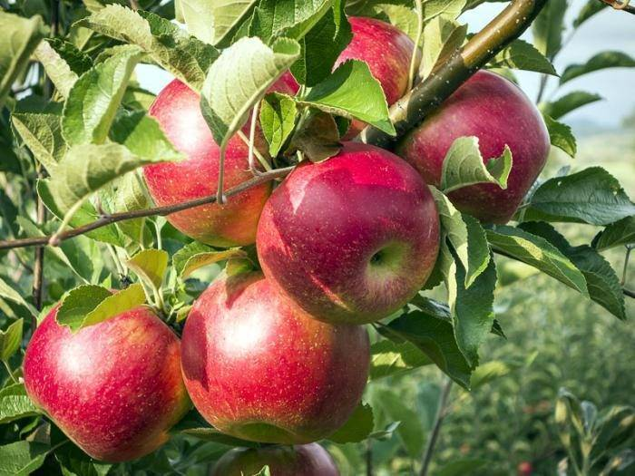 Карликовые яблони: сорта, отзывы, как садить и ухаживать