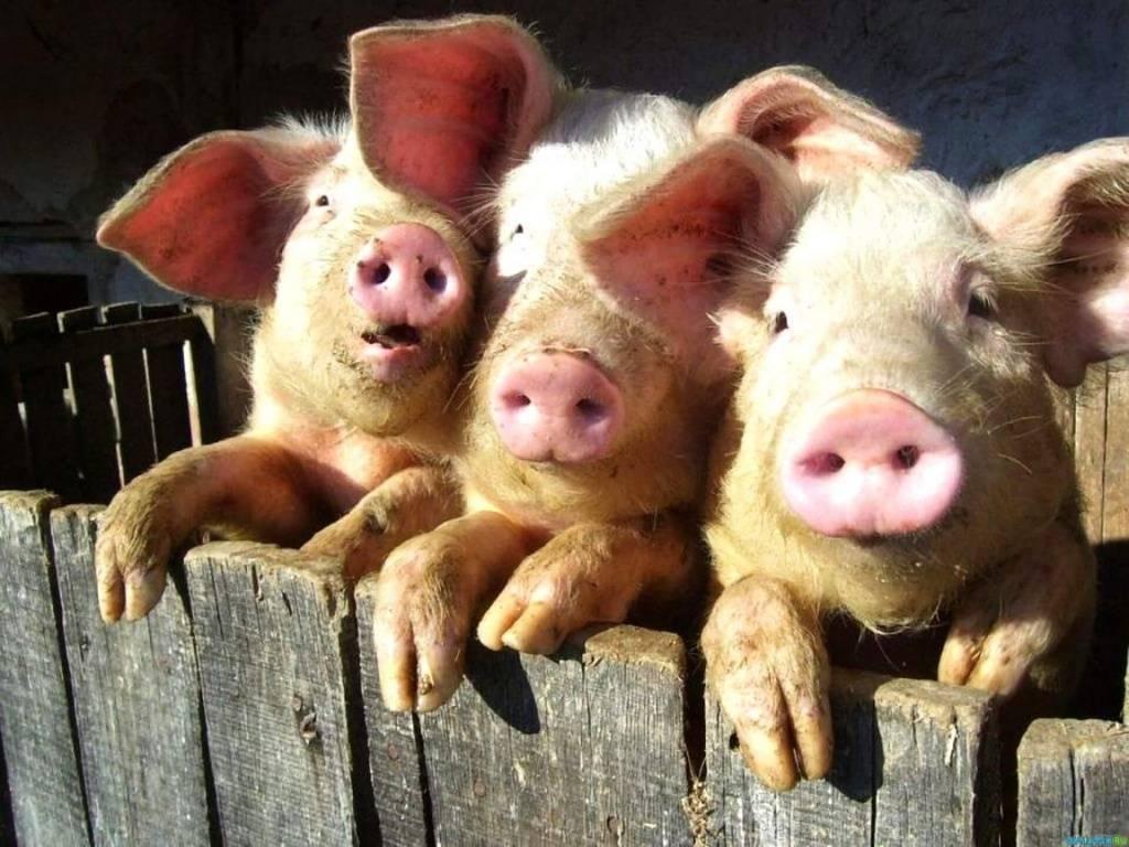 К чему снится  свинья во сне — по 90 сонникам! если видишь во сне свинья что значит?