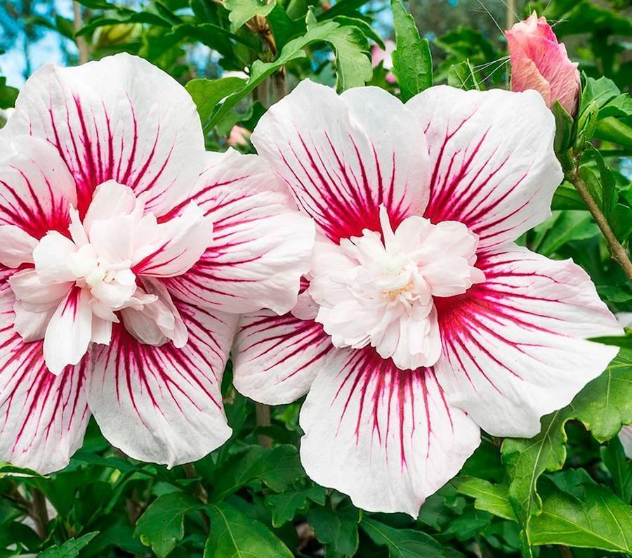 Гибискус садовый: уход и размножение selo.guru — интернет портал о сельском хозяйстве