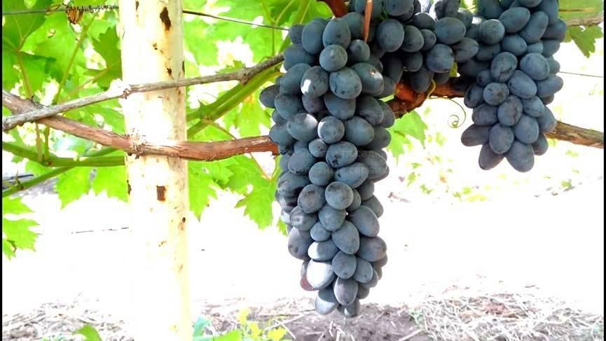 Виноград чарли: описание зимостойкого столового сорта, история селекции, уход