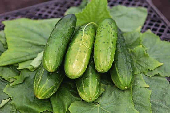 Огурец герман f1: описание сорта и особенности, выращивание из семян